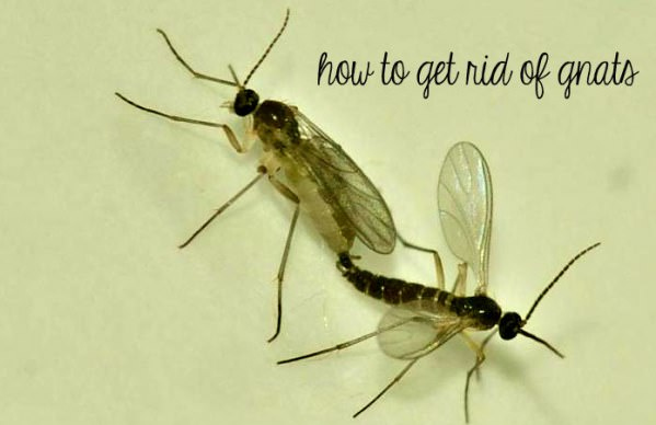 how to get rid of gnats naturally fast